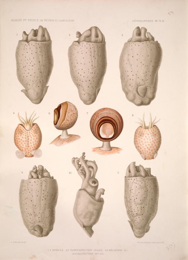 Los viajes del príncipe Alberto I de Mónaco, ilustrados. Cefalópodos (2 de 2)